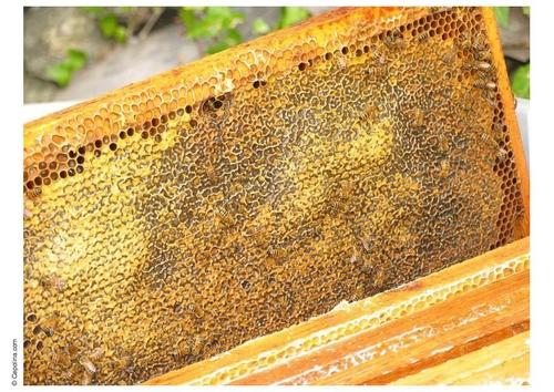 alvéole avec du miel