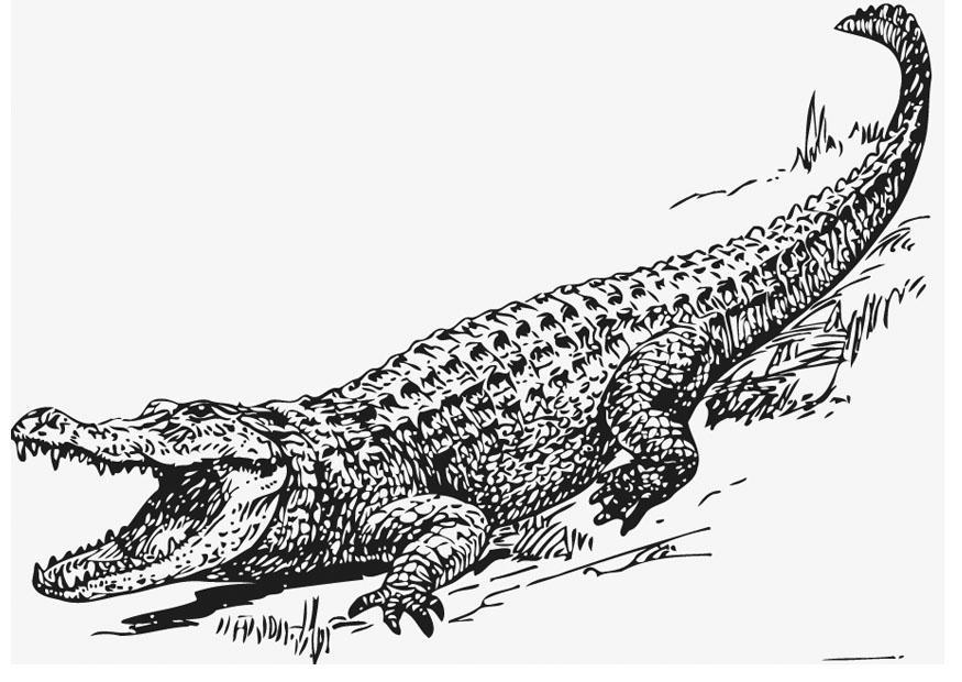 Coloriage Alligator Img 13209