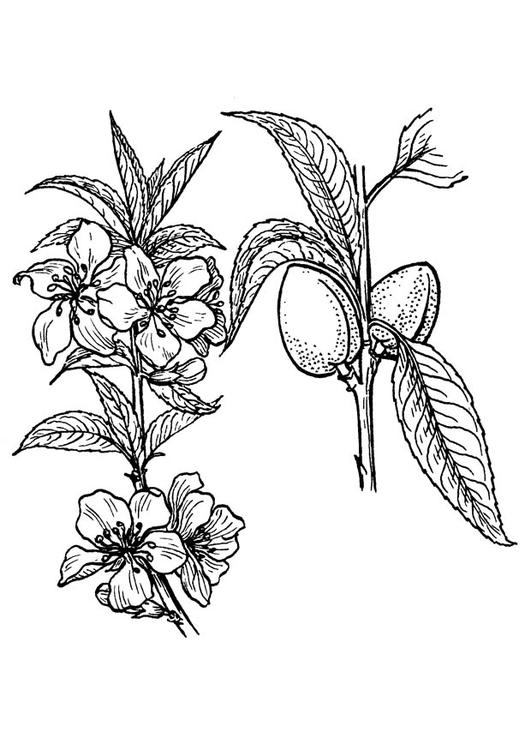 Coloriage Amandier Img 18910