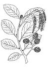 Coloriage arbre - aulne