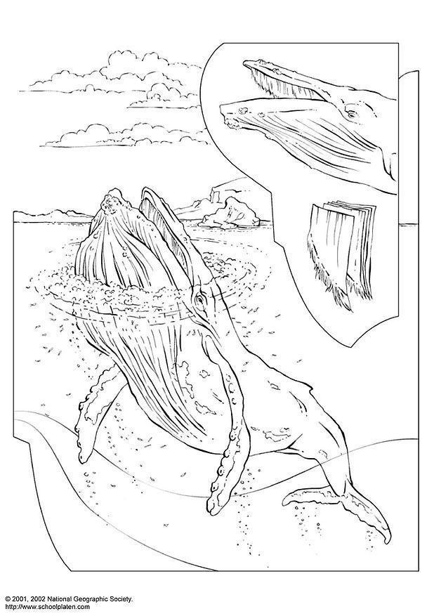 Coloriage Baleine 224 Bosse Coloriages Gratuits 224 Imprimer