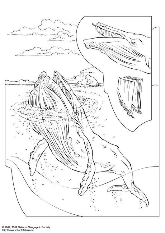 Coloriage Baleine A Bosse Coloriages Gratuits A Imprimer