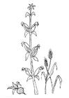 Coloriage betterave maïs blé