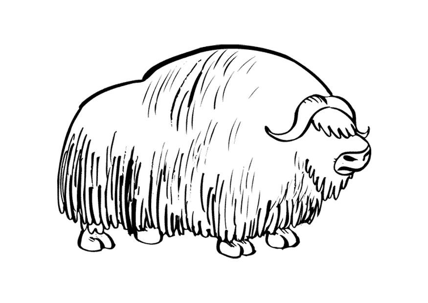 coloring pages of musk ox - photo#12