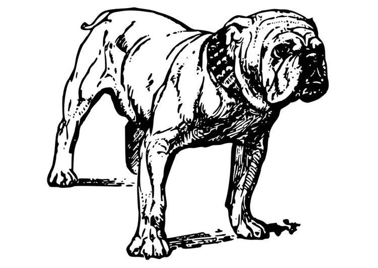 Coloriage bouledogue
