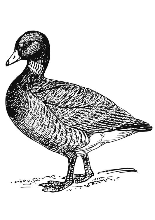 Coloriage canard img 16625 - Canard a colorier ...