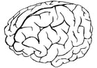 Coloriage cerveau