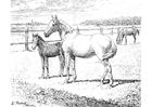 Coloriage cheval avec poulain