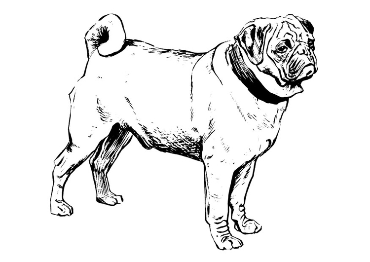 Coloriage Chien Carlin.Coloriage Chien Carlin Img 22749 Images