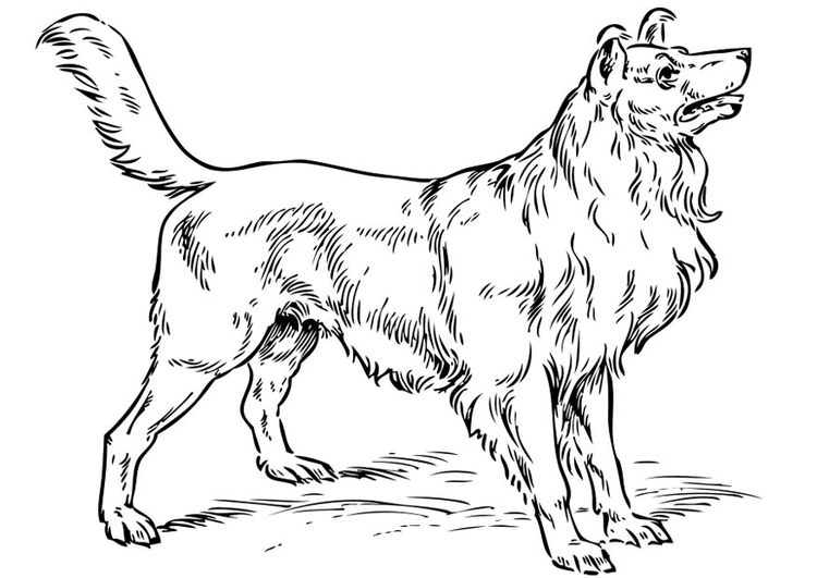 Coloriage chien - colley