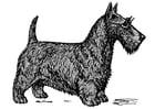 Coloriage chien - Terrier écossais