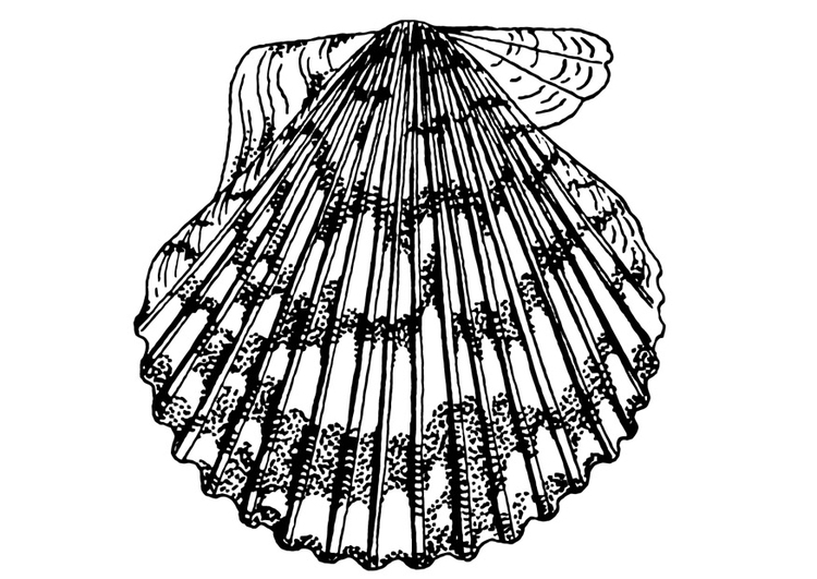 Coloriage coquille saint jacques img 13240 - Coquille saint jacques dessin ...