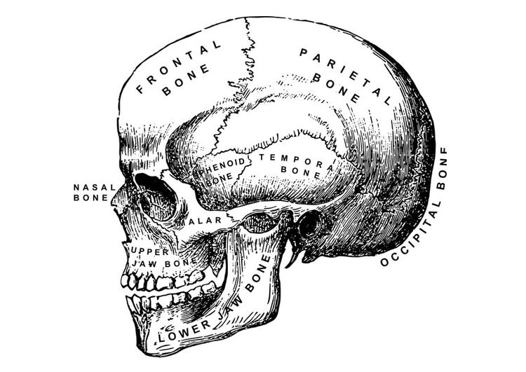 coloriage crâne  coloriages gratuits à imprimer  dessin