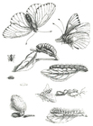 Coloriage cycle du papillon
