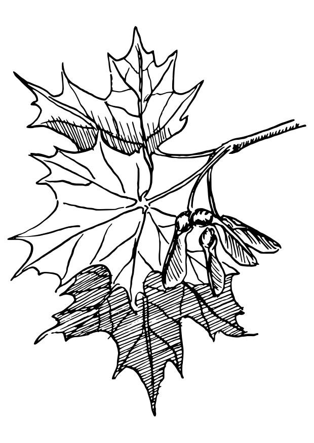 Coloriage rable sucre img 27341 - Feuille erable dessin ...