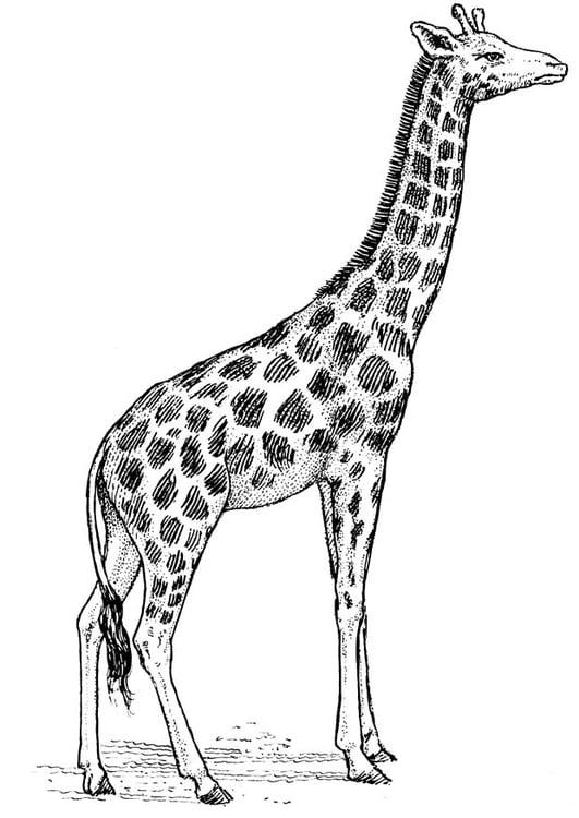 Coloriage Girafe Img 16637 Images