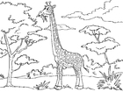 Coloriages girafe