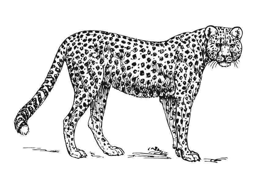 Coloriage gu pard img 15727 - Guepard dessin ...