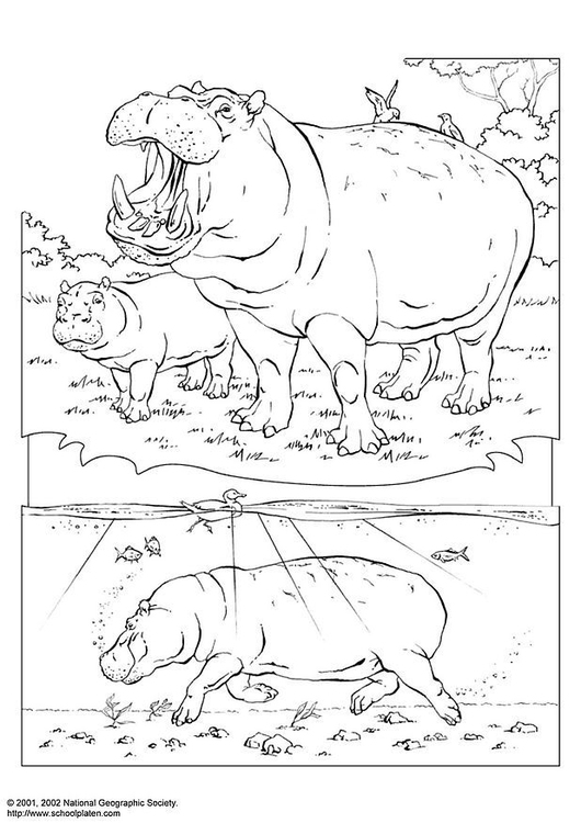 Coloriage Hippopotame Img 3070 Images