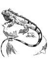 Coloriage iguana