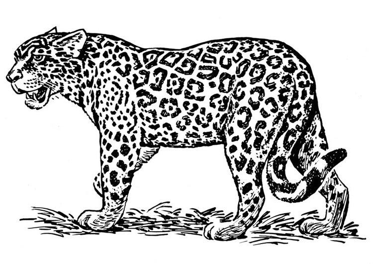 Coloriage jaguar