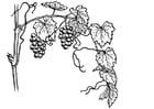 Coloriage la vigne