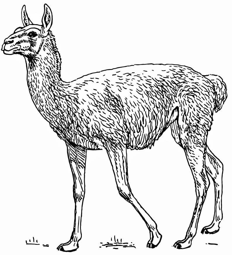 coloriage lama  img 15742