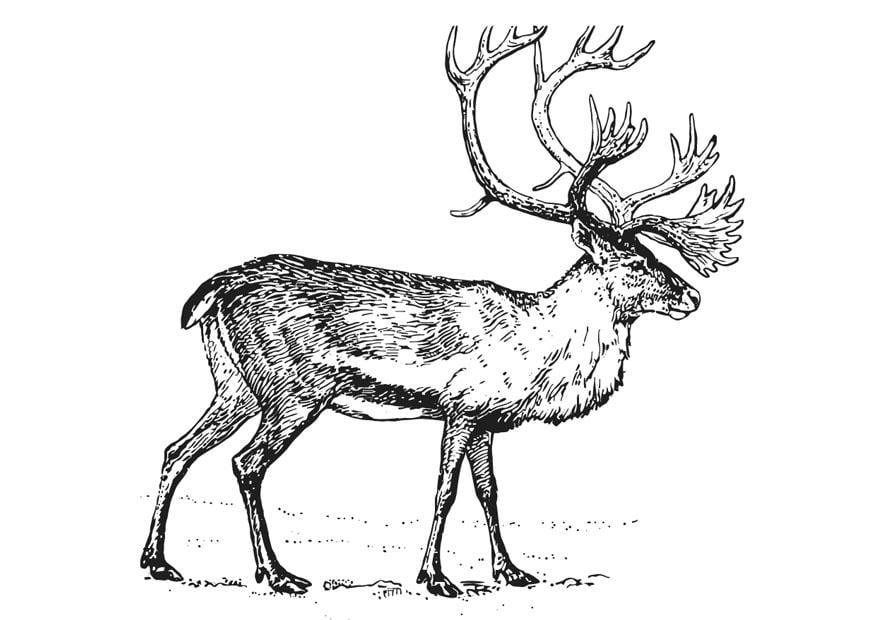 coloriage le caribou  img 12952