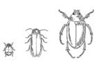 Coloriage le scarabée
