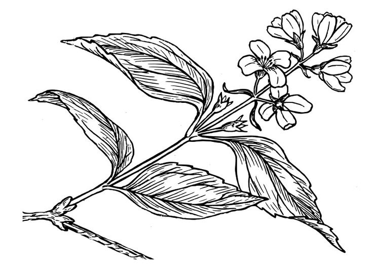 Coloriage lilas img 27412 - Dessin de lilas ...