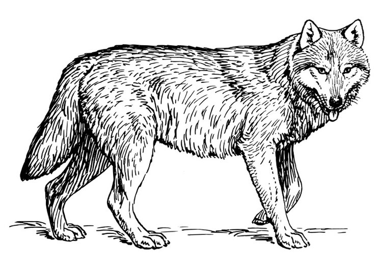 Coloriage Loup Img 22786 Images