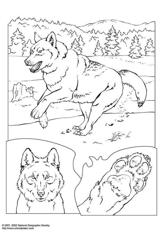 Coloriage Loup Coloriages Gratuits A Imprimer Dessin 3081