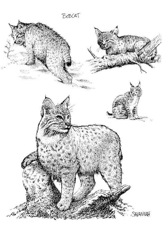Coloriage Lynx Coloriages Gratuits A Imprimer Dessin 8539