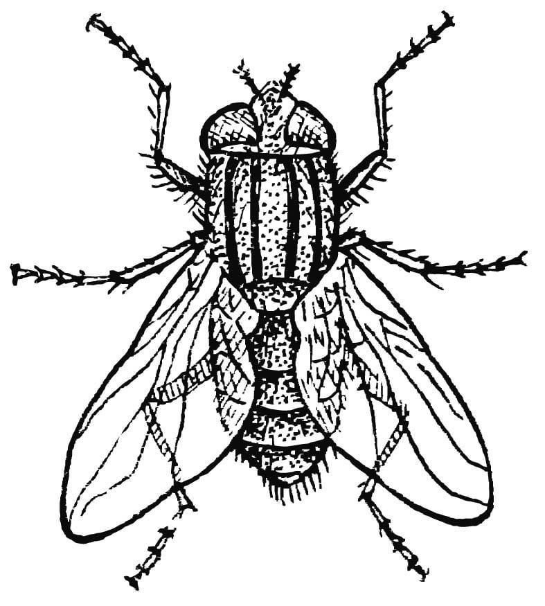 Coloriage mouche domestique img 15745 - Dessin de mouche ...
