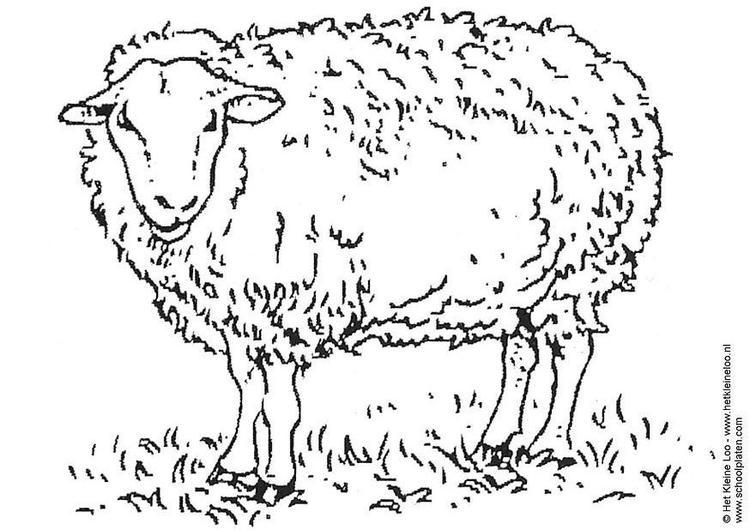 Coloriage Mouton Img 3741