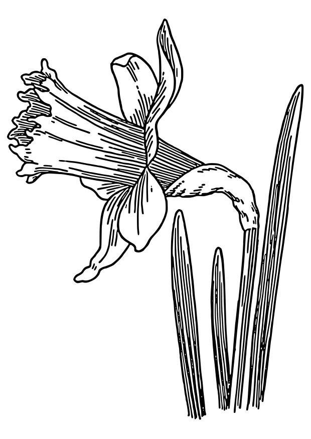 Coloriage narcisse jonquille img 22327 - Dessin jonquille fleur ...