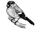 Coloriage oiseau - bouvreuil