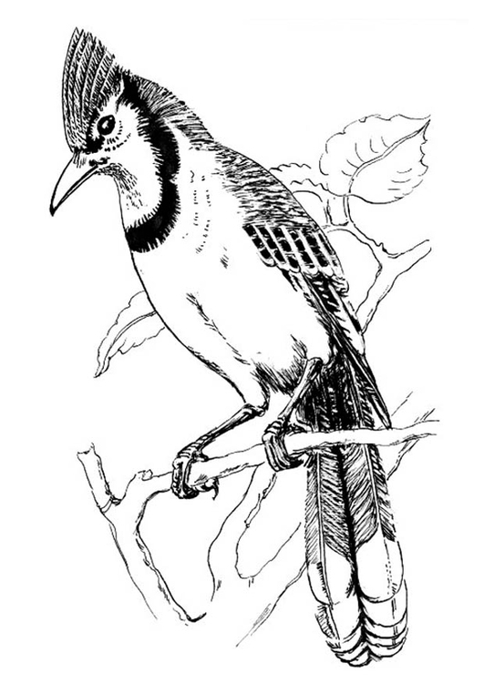 Coloriage oiseau geai bleu img 18833 for Blue jay coloring page