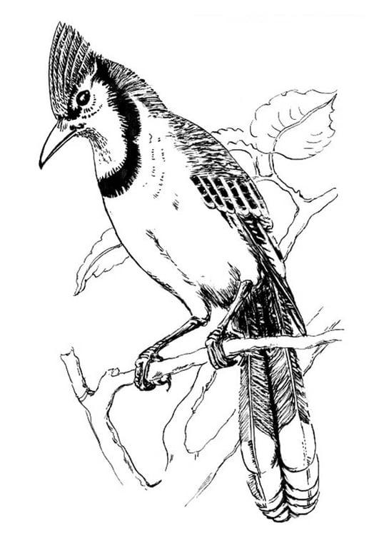 Coloriage oiseau geai bleu img 18833 - Coloriage de oiseau ...