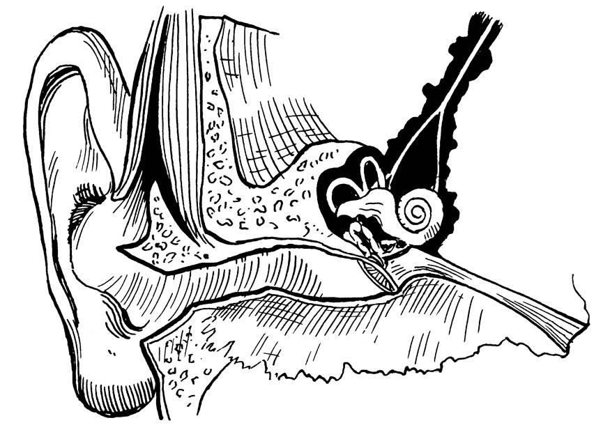 Coloriage oreille int rieur et ext rieur img 16649 for Interieur oreille