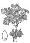 Coloriage palmier - palmier à bétel avec noix d'arec