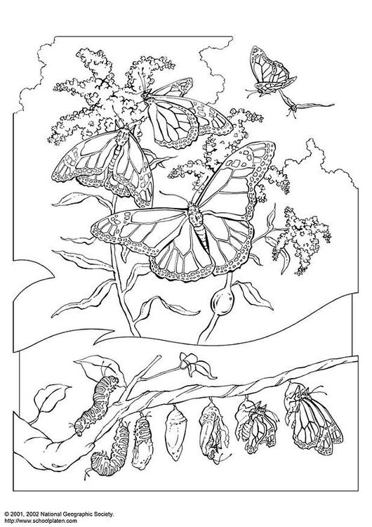 Coloriage Papillon Monarque Coloriages Gratuits A Imprimer