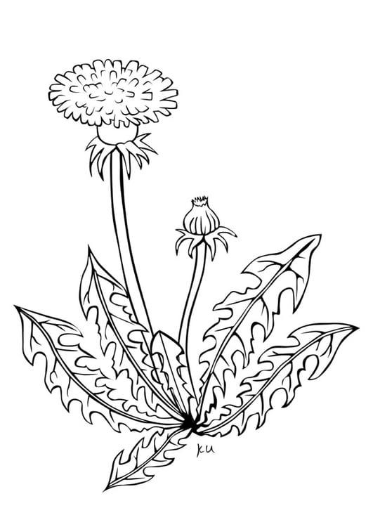 Coloriage pissenlit img 21739 - Dessin fleur pissenlit ...