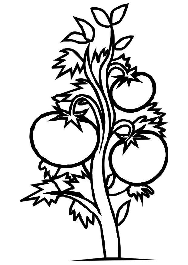 Coloriage plante tomate img 19182 - Dessin de tomate ...