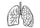 Coloriage poumons