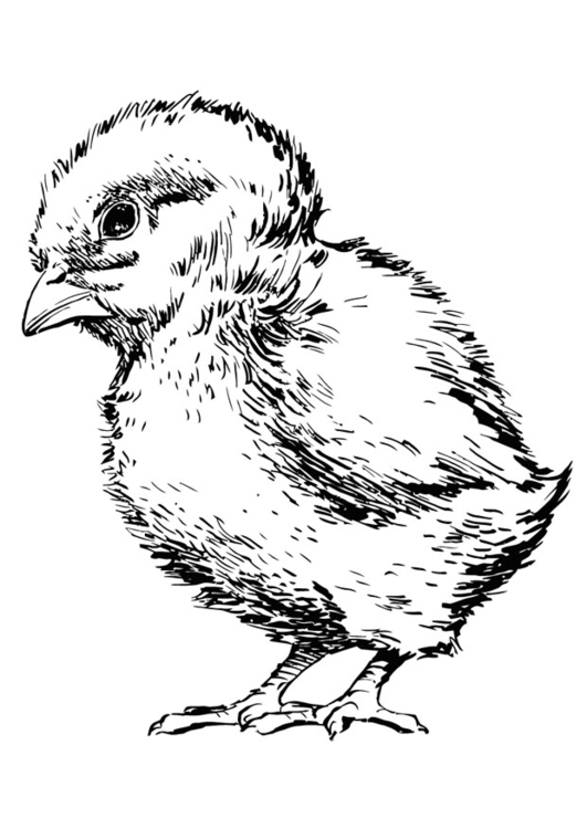 Coloriage Poussin Img 13701 Images