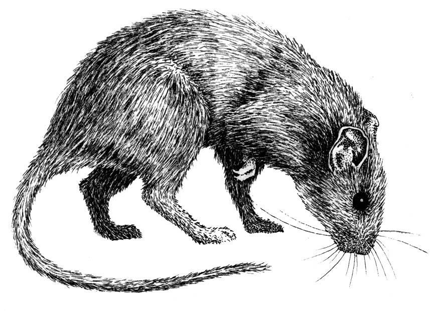 Coloriage rat - Coloriages Gratuits à Imprimer