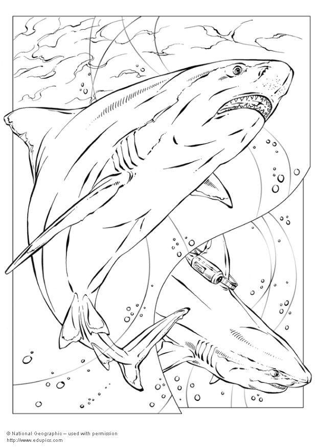 Coloriage requin bouledogue img