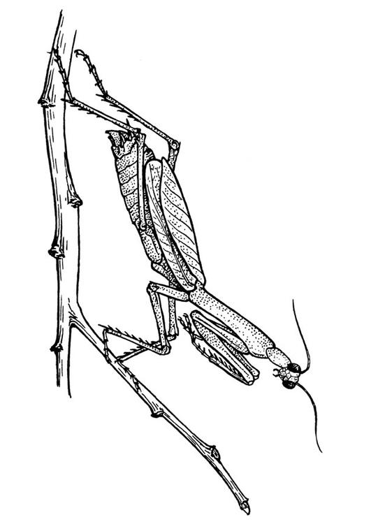 Coloriage sauterelle mante r ligieuse img 18918 - Sauterelle dessin ...