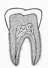 Coloriage section de la dent